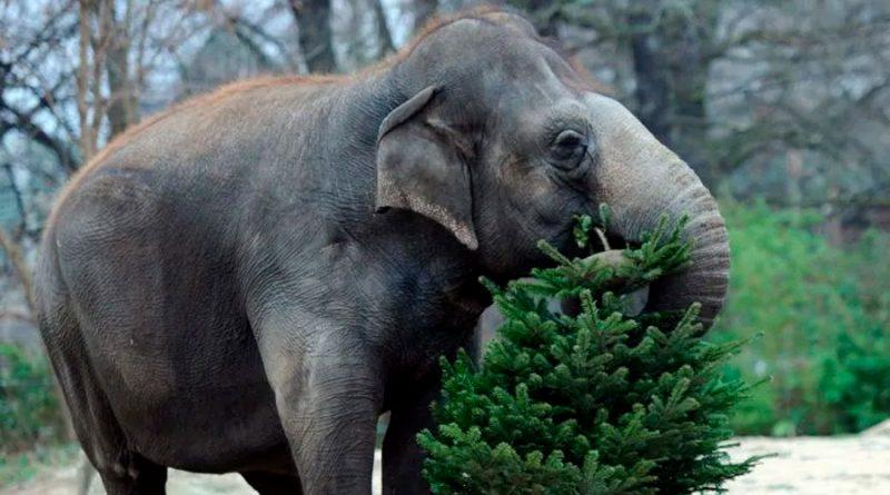 Elefantes hambrientos en Tailandia, las otras víctimas de la pandemia