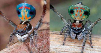 Descubren en Australia doce nuevas especies de espectaculares arañas pavo real