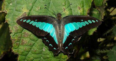 La mariposa botella azul es el insecto con la visión cromática más compleja: 15 tipos de fotorreceptores