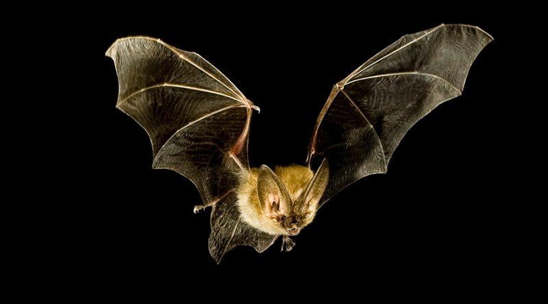 ¿Por qué son tan mortales los virus de murciélagos?