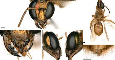 Científicos descubren en Panamá una abeja mitad hembra y mitad macho