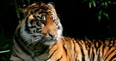 Tigresa da positivo por coronavirus en zoológico de Nueva York