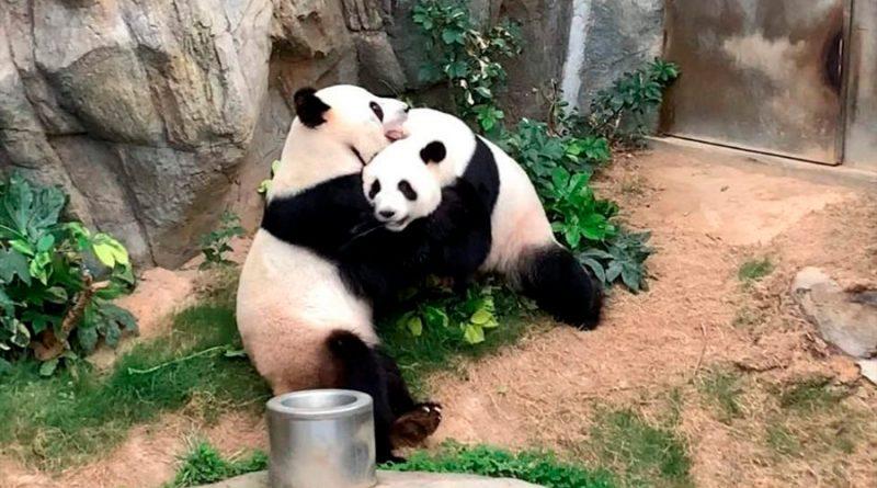 Una pareja de pandas logró aparearse (en la privacidad de la cuarentena) después de 10 años de intentarlo