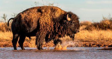 Una nueva oportunidad para los bisontes en una región del noreste de México