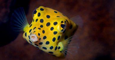 La habilidad para desplazarse del pez más cuadrado del mundo sorprende a los científicos