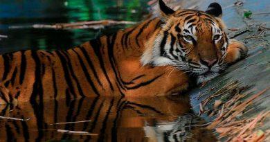 Zoológico en NY registra 5 tigres y 3 leones infectados con coronavirus