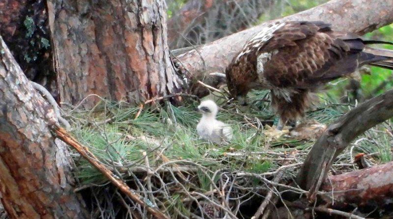Nacen 15 águilas de Bonelli por proyecto de conservación
