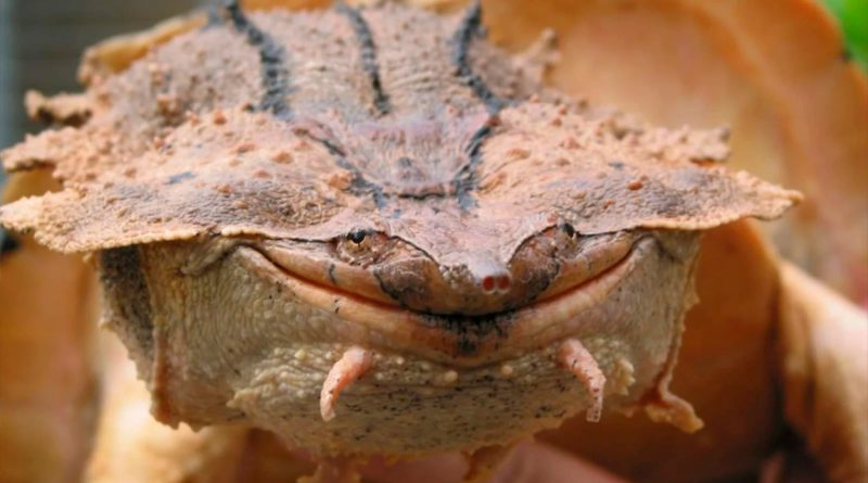 Descubren una nueva especie de tortuga. Tiene esta cara