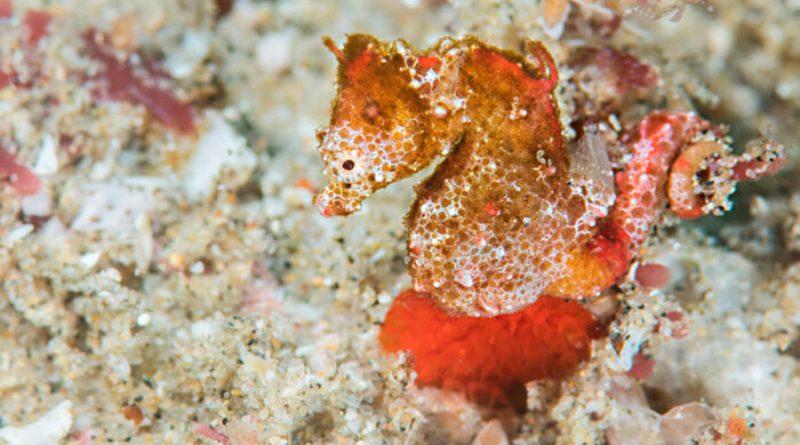 Descubren especie de caballito de mar pigmeo del tamaño de un grano de arroz en el océano Índico