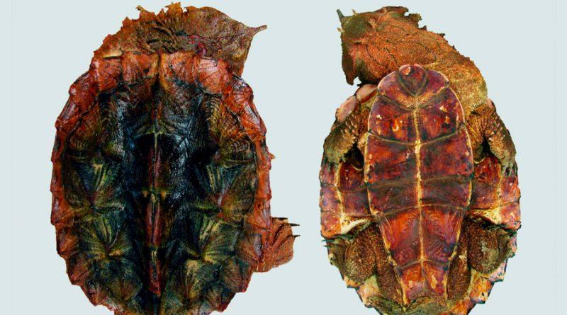 Una extraña especie de tortuga de medio metro, descubierta en Sudamérica