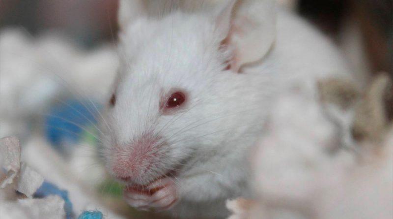 Diseñan un modelo de ratón para estudiar la función mecánica de las proteínas 'in vivo'