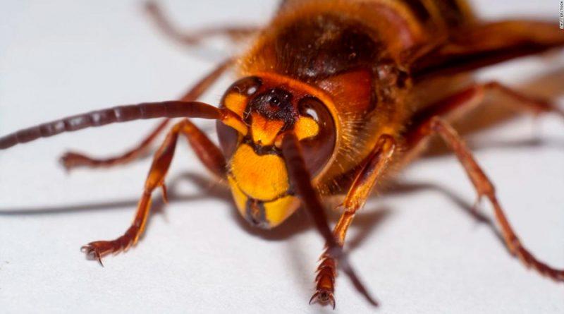 Avispones gigantes invasores son vistos por primera vez en EU y reportan que diezman abejas