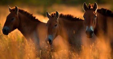 Chernobyl: el inesperado refugio los caballos salvajes de Przewalski