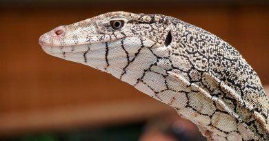 El extraño lagarto con dos ojos extra bajo la piel