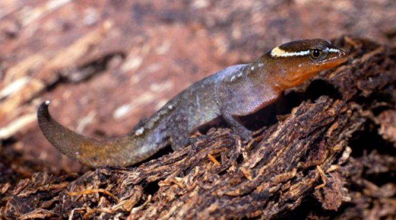 Registran presencia del lagarto más pequeño del mundo en un parque colombiano