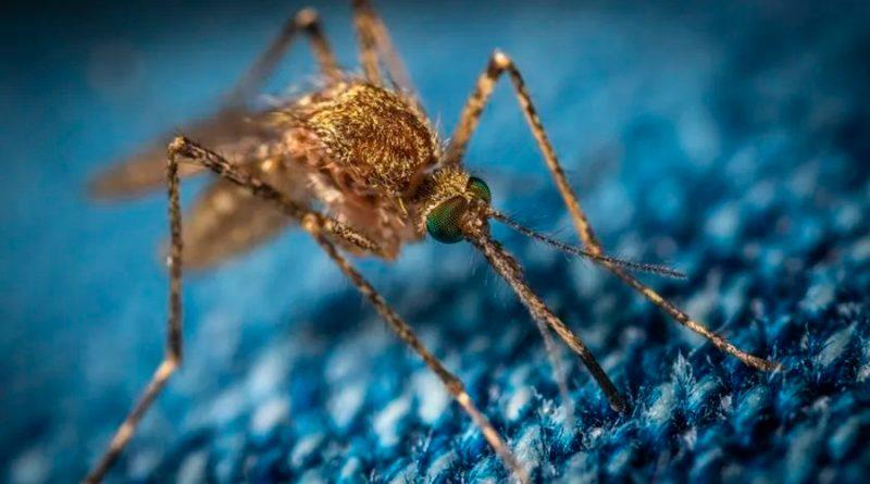 Identifican microbio que bloquea al parásito de la malaria en mosquitos
