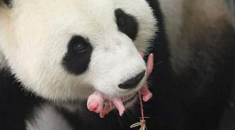 Panda gigante da a luz en zoológico holandés