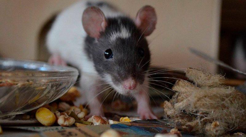 Descubren que las ratas también sienten empatía