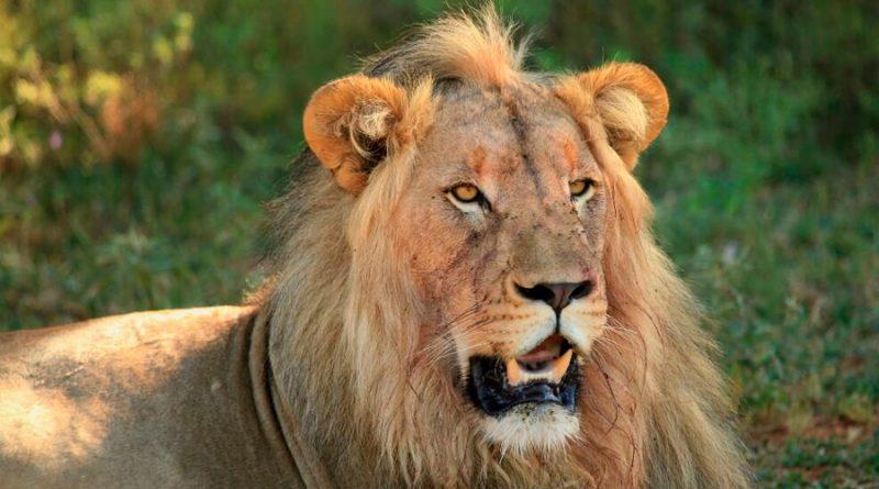 Descifran la historia evolutiva de los leones