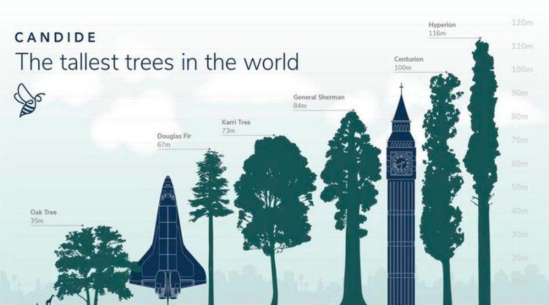 Hyperion, el árbol más alto del mundo cuya localización es un secreto