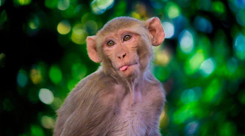 Vacuna contra el coronavirus: por qué el macaco rhesus es clave para combatir el Covid-19