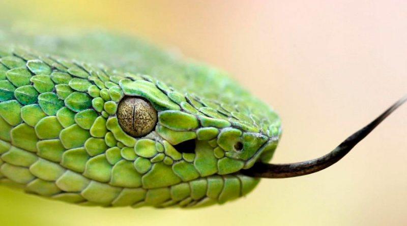 Crean un nuevo tratamiento para tratar la mordedura de serpiente