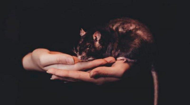 Científicos descubren casos humanos de hepatitis E provocada por virus de ratas
