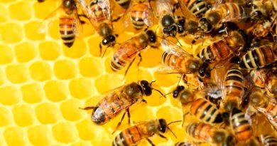 Así se reproducen sin sexo las abejas sudafricanas