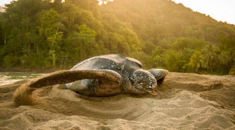 Tortugas marinas defienden sus nidos con tácticas de distracción