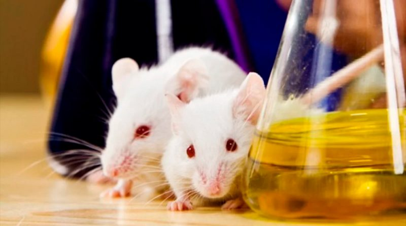 Identifican un fármaco que se muestra eficaz para tratar diabetes en ratones