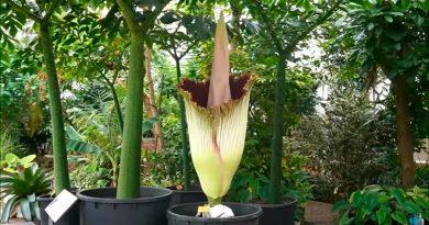 "Florece una especie de ""flor cadáver"" en Bélgica"