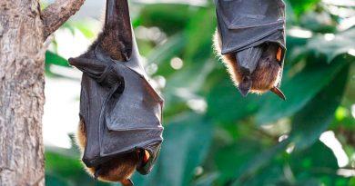 Descubren que los murciélagos son anfitriones de otras cepas únicas de coronavirus