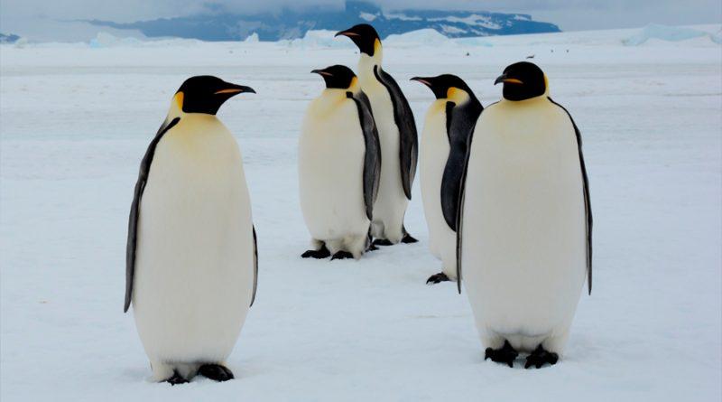 Científicos descubren que el pingüino rey produce el 'gas de la risa' a través de su excremento