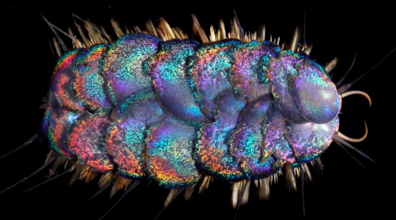 Descubren cuatro nuevos gusanos de vivos colores que habitan en las profundidades del océano