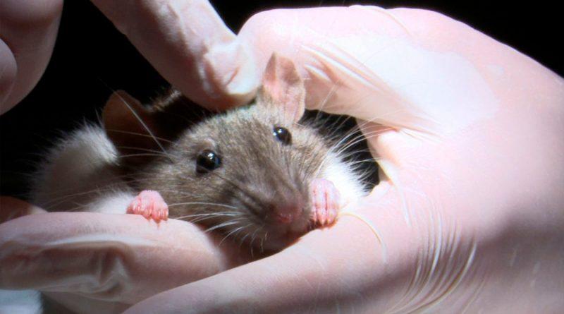 Científicos chinos descubren que las ratas están trasmitiendo la hepatitis a los humanos con una nueva cepa