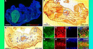 Científicos crearon un embrión híbrido de ratón y humano
