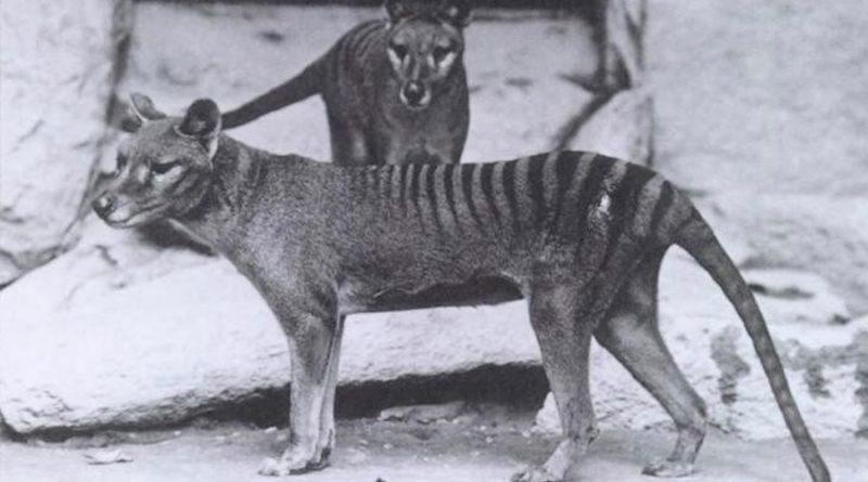 Se encuentra un vídeo perdido de una grabación de un animal extinto: el tigre de Tasmania