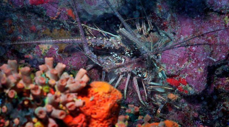 El sonido de las langostas puede oírse a tres kilómetros bajo el agua
