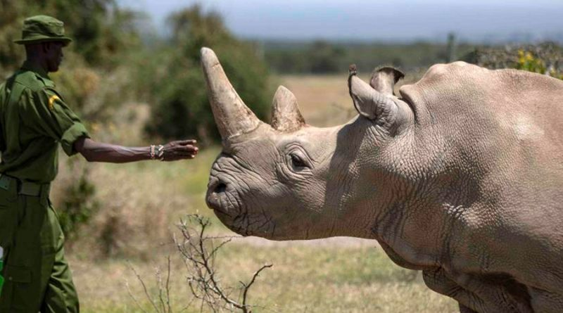 La pandemia pone en riesgo la preservación del rinoceronte blanco