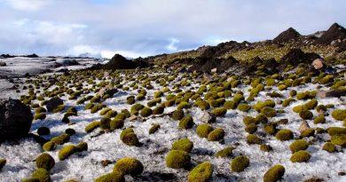La ciencia sin explicación porqué estas bolas de musgo se mueven todas a la vez y en la misma dirección