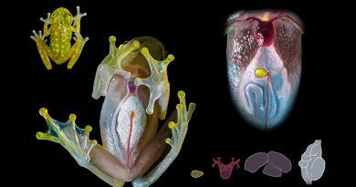 Las ranas de cristal revelan una nueva forma de camuflaje