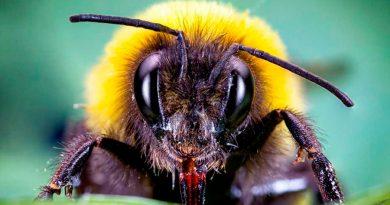 El secreto de los abejorros para que las plantas florezcan antes