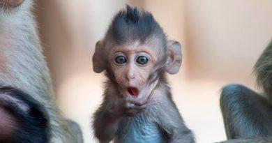 Como en 'Jumanji': Monos roban muestras de sangre de pacientes con Covid-19 en India