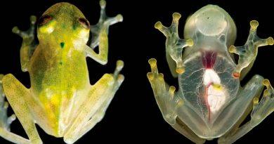 El gran secreto de las ranas de cristal: por esto son translúcidas