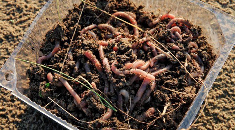 Descubren que unos gusanos comunes pueden degradar el plástico hasta un 70%