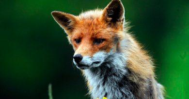 Zorros rojos que habitan las ciudades, más cerca de la domesticación