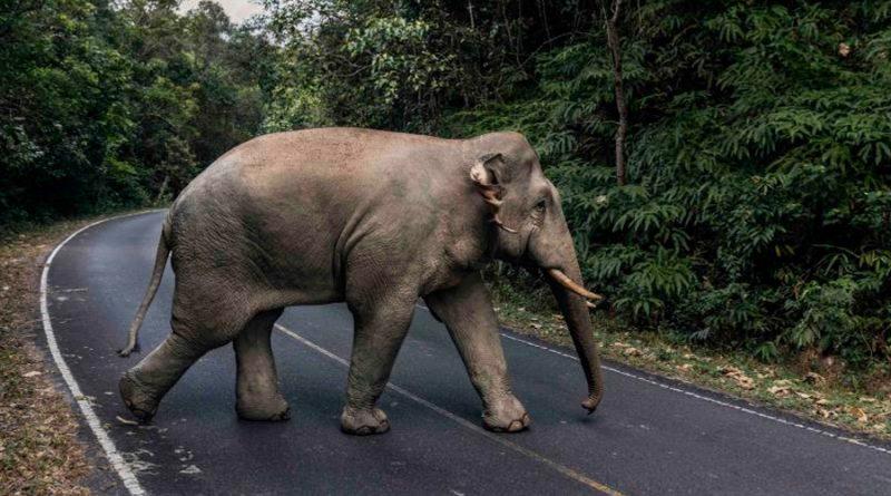 Elefantes, amenazados por las multitudes tailandesas recuperan un parque nacional