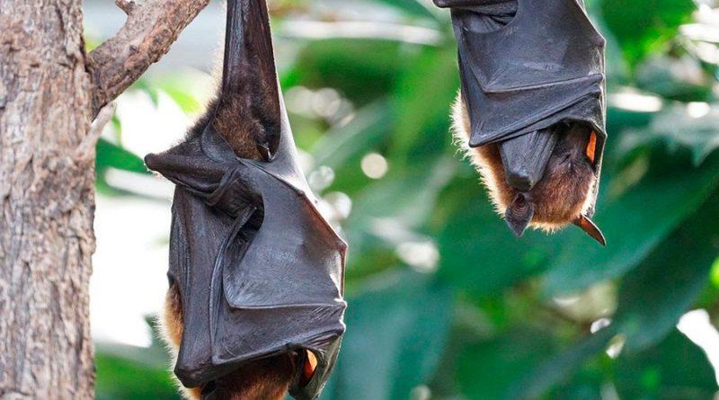 Científicos detectan cientos de nuevos coronavirus en murciélagos en China