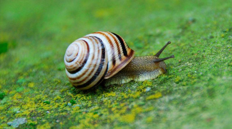 Jeremy, el célebre caracol zurdo al que se le buscó pareja por todo el mundo y solo tuvo crías diestras