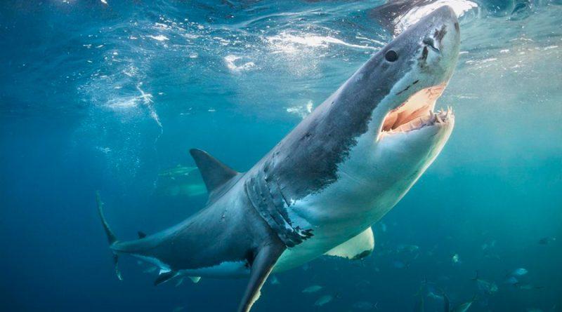 El temido tiburón blanco sorprende con su dieta